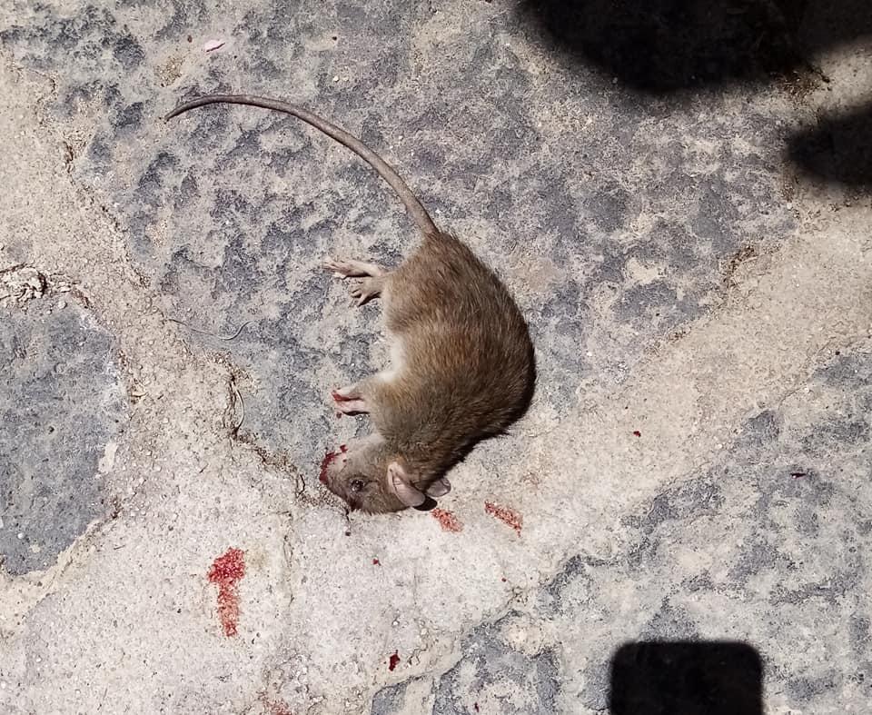 un ratto fotografato ieri  in Via Barcellona